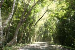 El rastro del bosque y el árbol verde grande con el sol irradian Imagen de archivo