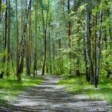 El rastro en el bosque con los abedules y los pinos Fotos de archivo libres de regalías