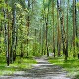 El rastro en el bosque con los abedules y los pinos en un día de primavera Fotos de archivo libres de regalías