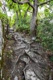 El rastro lleva a las raíces de un árbol en el bosque foto de archivo libre de regalías