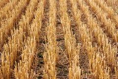 El rastrojo cosechó el campo de trigo Foto de archivo libre de regalías