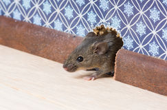 El ratón de casa (musculus de Mus) consigue en el cuarto a través de un agujero en la pared Imagenes de archivo