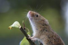 El ratón de cosecha, ratones se cierra encima del retrato que se sienta en el cardo, maíz, trigo, zarzas, endrino, margarita, flo Foto de archivo