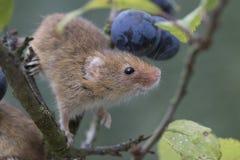 El ratón de cosecha, ratones se cierra encima del retrato que se sienta en el cardo, maíz, trigo, zarzas, endrino, margarita, flo Fotos de archivo libres de regalías