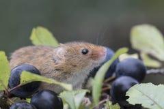 El ratón de cosecha, ratones se cierra encima del retrato que se sienta en el cardo, maíz, trigo, zarzas, endrino, margarita, flo Imagen de archivo libre de regalías