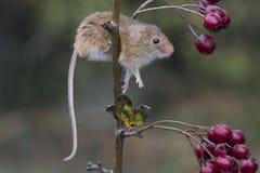 El ratón de cosecha, ratones se cierra encima del retrato que se sienta en el cardo, maíz, trigo, zarzas, endrino, margarita, flo Foto de archivo libre de regalías
