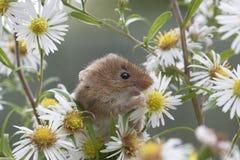 El ratón de cosecha, ratones se cierra encima del retrato que se sienta en el cardo, maíz, trigo, zarzas, endrino, margarita, flo Fotos de archivo