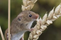 El ratón de cosecha, ratones se cierra encima del retrato que se sienta en el cardo, maíz, trigo, zarzas, endrino, margarita, flo fotografía de archivo libre de regalías
