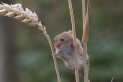 El ratón de cosecha, ratones se cierra encima del retrato que se sienta en el cardo, maíz, trigo, zarzas, endrino, margarita, flo Imágenes de archivo libres de regalías