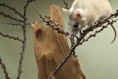 El ratón espinoso africano mira a escondidas hacia fuera de detrás el top del bastidor imágenes de archivo libres de regalías