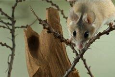 El ratón espinoso africano mira a escondidas hacia fuera de detrás el top del bastidor fotografía de archivo