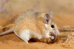 El ratón espinoso femenino del primer come el insecto en la arena foto de archivo