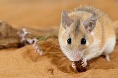 El ratón espinoso femenino del primer come el insecto en la arena y miradas en la cámara fotografía de archivo