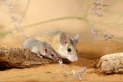 El ratón espinoso femenino del primer y el pequeño ratón se sienta en el gancho en la arena imágenes de archivo libres de regalías