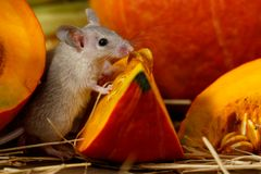 El ratón gris del primer coloca pedazos cercanos de calabaza roja en la despensa foto de archivo libre de regalías