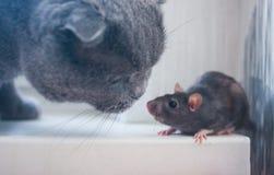 El ratón, la rata es lindo y el gato familiarización con fotografía de archivo libre de regalías