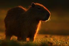 El ratón más grande en todo el mundo, Capybara, hydrochaeris del Hydrochoerus, con la luz de la tarde durante puesta del sol, Pan Foto de archivo libre de regalías