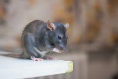 El ratón, rata gris linda se lava la cara Higiene de la cara imagen de archivo libre de regalías