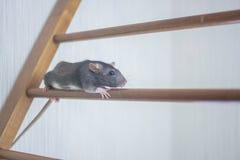El ratón, rata gris linda sube la escalera de la carrera upward imágenes de archivo libres de regalías
