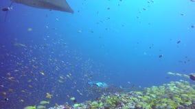 El rayo de Manta del grupo se relaja bajo el agua en pescados rayados de la escuela de los mordedores en el océano almacen de video