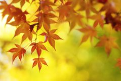 El árbol de arce japonés colorido sale del fondo Imagen de archivo libre de regalías