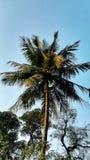 El ?rbol de coco imagen de archivo libre de regalías