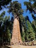 El árbol de general Sherman Fotos de archivo