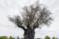 El ?rbol de la eternidad: La aceituna, sabida por el europaea bot?nico del Olea del nombre imagenes de archivo