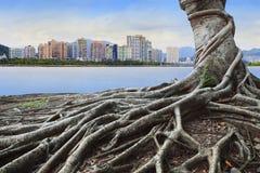 El árbol de la raíz delante del bosque del concepto del edificio de la ciudad y urbanos grandes crecen juntos Fotos de archivo libres de regalías