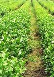 El árbol del té planta el campo Foto de archivo libre de regalías