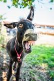 El rebuznar del burro Imagen de archivo