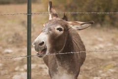 El rebuznar del burro Imágenes de archivo libres de regalías