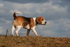 El recorrer con mi animal doméstico Imagen de archivo libre de regalías
