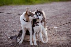 El recorrer de dos perros Fotografía de archivo