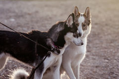El recorrer de dos perros Imagen de archivo