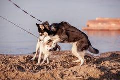 El recorrer de dos perros Imagenes de archivo