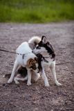 El recorrer de dos perros Imágenes de archivo libres de regalías