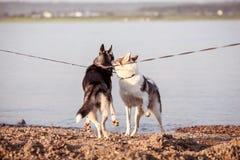El recorrer de dos perros Foto de archivo libre de regalías