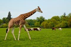 El recorrer de la jirafa Fotografía de archivo libre de regalías