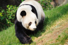 El recorrer de la panda Imagen de archivo libre de regalías