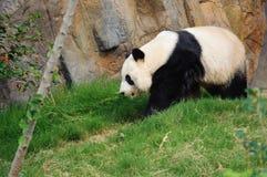 El recorrer de la panda Fotografía de archivo