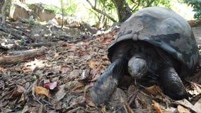 El recorrer de la tortuga gigante almacen de metraje de vídeo