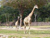 El recorrer de las jirafas foto de archivo libre de regalías