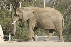 El recorrer del elefante Foto de archivo libre de regalías