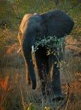 El recorrer del elefante Fotos de archivo libres de regalías