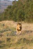 El recorrer del león Foto de archivo libre de regalías
