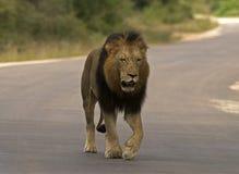 El recorrer del león Imagen de archivo libre de regalías