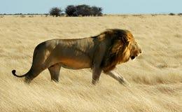 El recorrer del león   Fotos de archivo