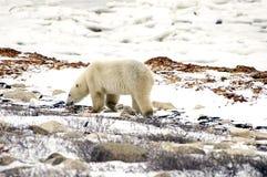 El recorrer del oso polar Imagenes de archivo