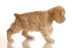 El recorrer del perro de aguas de cocker foto de archivo